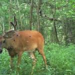 Whitetail Deer Fibroma: Deer Warts