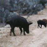 Economics of Feral Hog Damage and Control