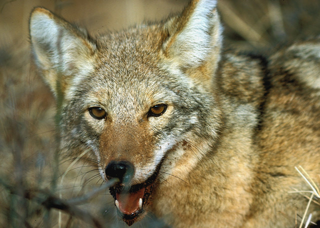 Food Habits of Coyotes