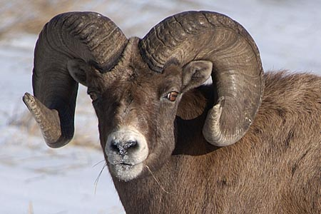 Bighorns Kick Domestic Sheep Off Alottment