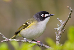 The Black-Capped Vireo in Central Texas