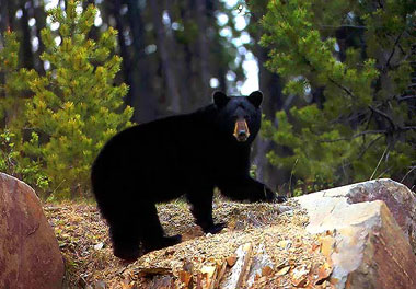 Five Year-Old Davy Crockett Relative Kills Bear