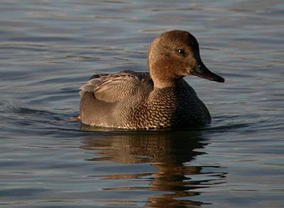 All About Gadwall