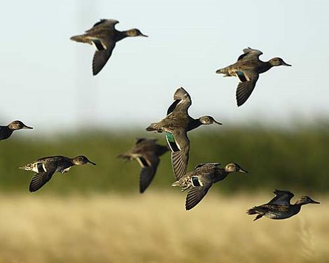 Green-winged Teal Photos and Information
