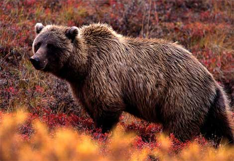 Montana Man Charged by Grizzly Bear