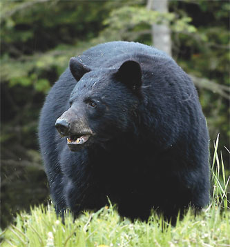 Bear Permits and Harvest to Increase in Utah