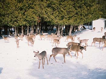 Emergency Wildlife Feeding of Deer and Pronghorn