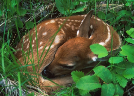 Information on Whitetail Fawns