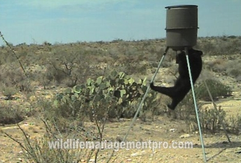 Black Bear at West Texas Deer Feeder