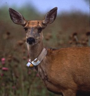 Deer with radio collar