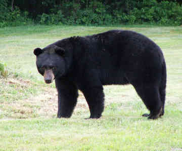 Black bear are moving across the border and into Texas