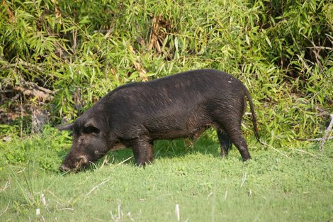 Feral Hogs in the city
