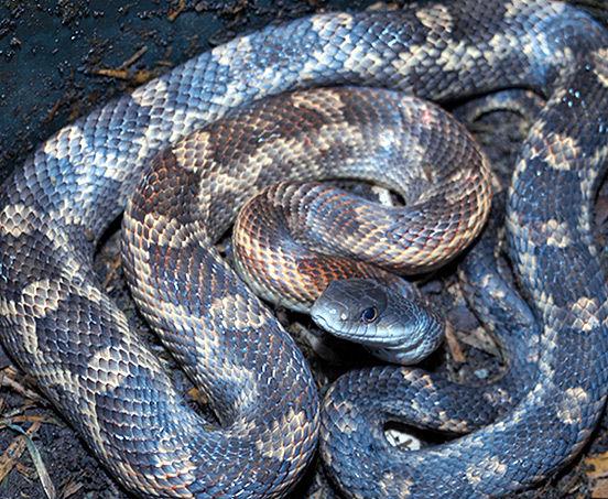 rat snake texas images - photo #17