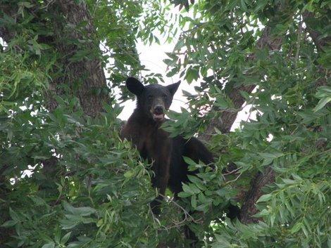 A Black Bear in Del Rio, Texas