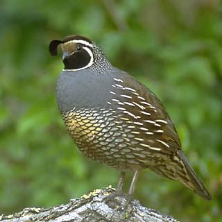 gambels-quail.jpg