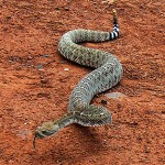 Rattlesnake Breeding and Behavior