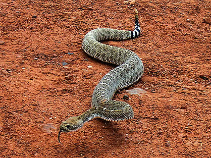 Rattlesnake on the move