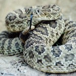 Rattlesnake coiled and on the lookout