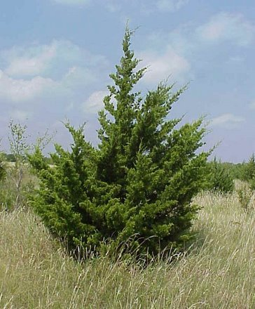 Texas' cedar could bank carbon and fight global warming
