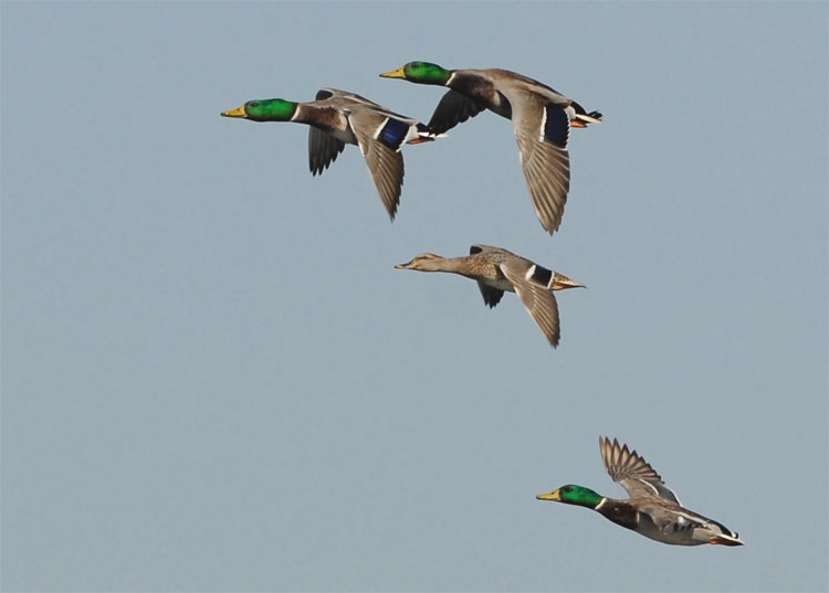 Mallards in flight!