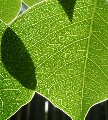 Chinese Tallow Tree Leaf