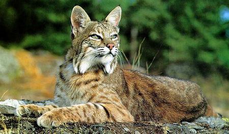 Bobcat biology