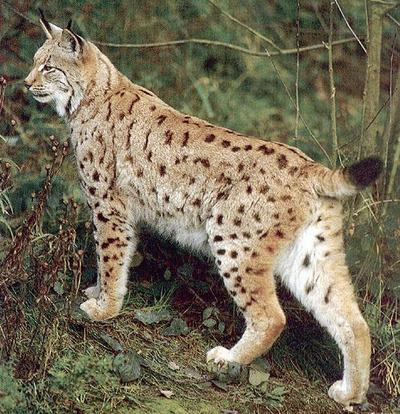 Identification of bobcat