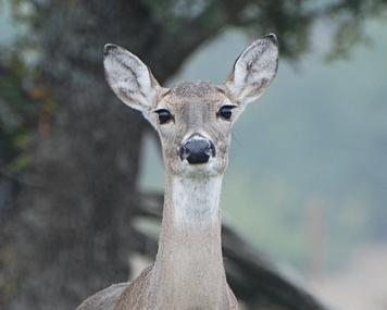 Contraception to Control Deer Numbers
