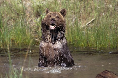 Legal status of grizzly bear hunting