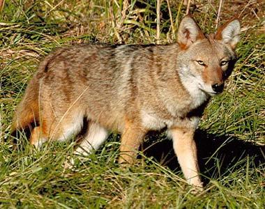 Coyote Home Range