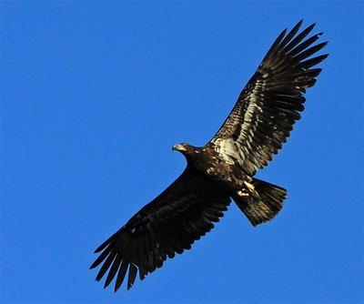 An immature bald eagle was spotted near Boerne, Texas