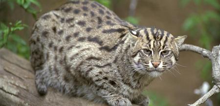 Trapping bobcat