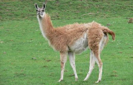 New York Hunter bags elusive Montana Llama