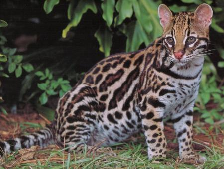 Celebrate at the Ocelot Conservation Festival