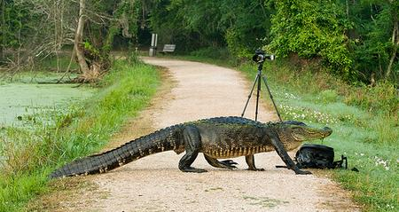 An alligator crosses the road at Brazos Bend State Park
