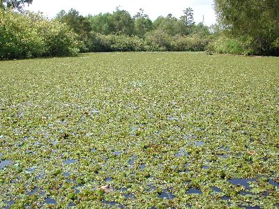 Photo of Giant Salvinia