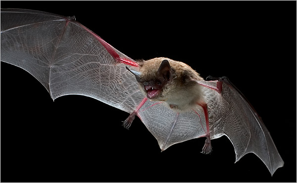 Bats can get white nose syndrome
