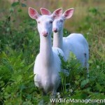 White Fallow Deer Does