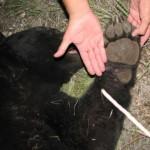 Black Bear Killed Near Alpine