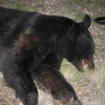 Big Black Bear Killed Near Alpine, Texas