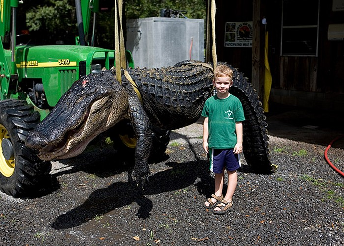 14 foot Alligator harvested in South Carolina