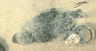 Flounder laying in sand along the Texas Gulf