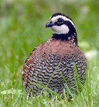 Wildlife Management: Bobwhite Quail