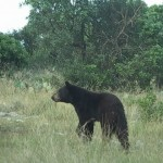 Black Bear Shot in Menard County, Texas