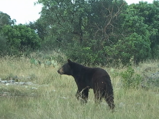 Black Bear Moving into Texas
