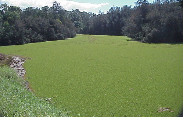 Image result for giant salvinia infestation