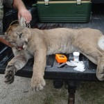 Mountain Lion killed near Junction, Texas