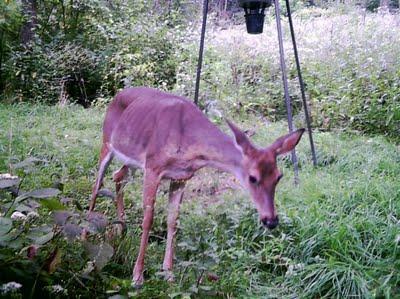 Sick or poisoned deer in Texas