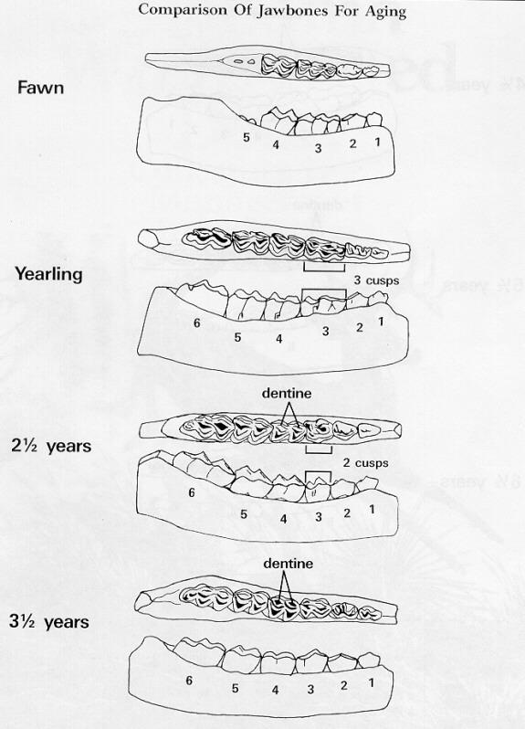 Example of Aging Deer by Tooth Wear