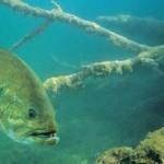 Lake Livingston, Amistad Produce Big Bass